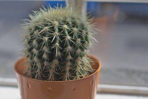 Office Cactus Reducing Radiation